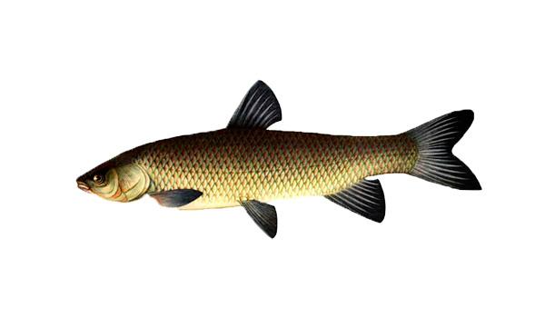 рыбалка на амура и толстолоба