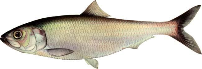 рыба толстолобик описание