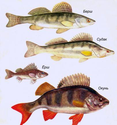 рыбалка окунь судак