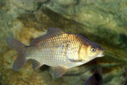 приманка для карповых рыб