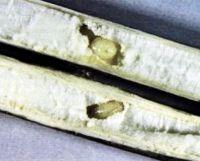 Личинка репейной моли для ловли карася осенью